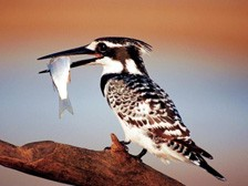 kingfisher-with-fish_224x168
