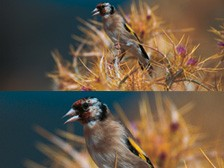 victory-fl-bird-closeup_224x168